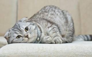 Шотландские вислоухие котята: уход и характер
