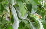 На яблоне скручиваются листья что делать