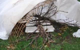 Когда и как укрывать виноград осенью – выбор материала и способа