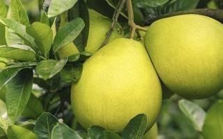 Фрукт помело – польза и вред, как выбрать фрукт