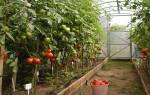 Самые урожайные сорта томатов для теплицы и их особенности