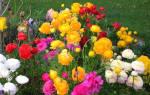 Лютики садовые – посадка и уход в домашних условиях и открытом грунте