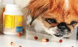 Признаки глистов у собаки и симптомы заражения