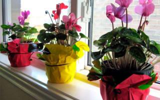 Как ухаживать в домашних условиях за цикламеном
