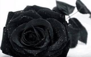 Черные розы – цветы с необычным оттенком