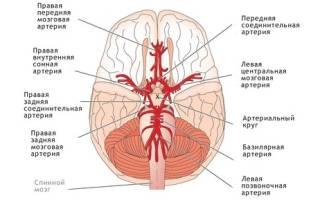 Анатомия виллизиева круга – варианты развития, симптомы патологий и их лечение