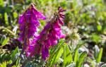Лечебные свойства и противопоказания растения Красный корень – применение настоек, отваров и чая для лечения