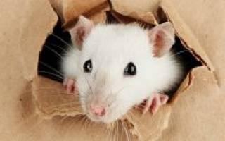 Как поймать мышь без мышеловки в доме или квартире