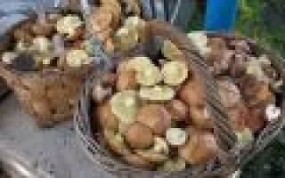 Маслята – как готовить: рецепты