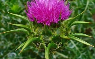 Расторопша – лечебные свойства травы. Применение расторопши